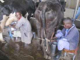 Milking cows by hand